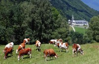 Abbaye Tamie et vaches