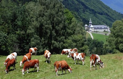 Abbaye Tamie et vaches
